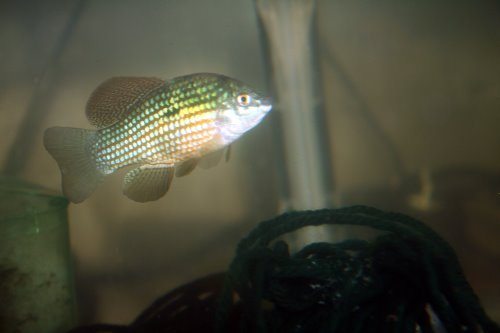 Breeding american flag fish jordanella floridae for American flag fish