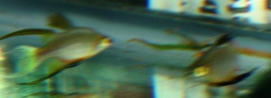 Threadfin Rainbows Brooklyn Aquarium Society